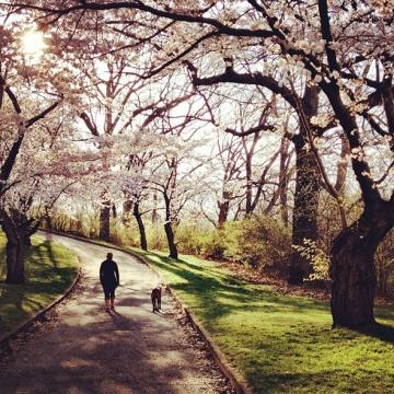 201356-blossom-path-590
